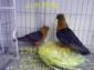 天使观赏鸽养殖场 山东观赏鸽养殖 观赏鸽品种