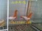 喜鹊鸽最新市场价格 喜鹊鸽图片观赏鸽养殖